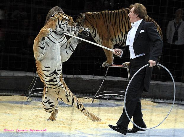 номер с тиграми_3